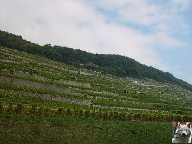 Le vignoble côté Léman (VD) 0008