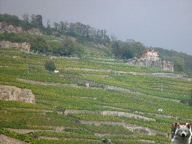 Le vignoble côté Léman (VD) 0012