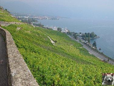 Le vignoble côté Léman (VD) 0016