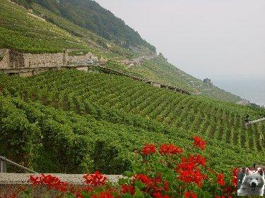 Le vignoble côté Léman (VD) 0021